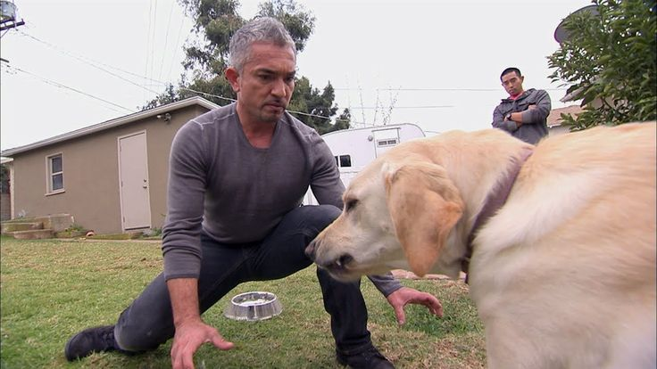 """Dog Whisperer: Showdown with Holly, via YouTube. This is proof that even """"family dogs"""" like Labs, Goldens ect can be aggressive. Pitt Bulls get a bad rap from the media, when the media has no idea that all dogs can and may bite."""