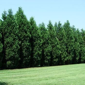 Thrives on Neglect!  -   Extremely drought tolerant  Forms a thick privacy screen   Adaptable to various soil types   The attractive 'Blue Sapphire' Cypress is the most drought tolerant of any evergreen! There is no need to worry about heat waves and water restrictions with this hardy tree. Stands up...