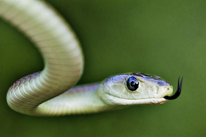 Painkilling peptides discovered in black mamba snake venom! 2012-10-08 C http://cen.acs.org/articles/90/i41/Painkiller-Found-Snake-Venom.html