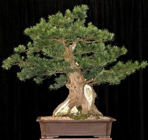 Podocarpus bonsai is also called Japanese Yew and Buddhist Pine