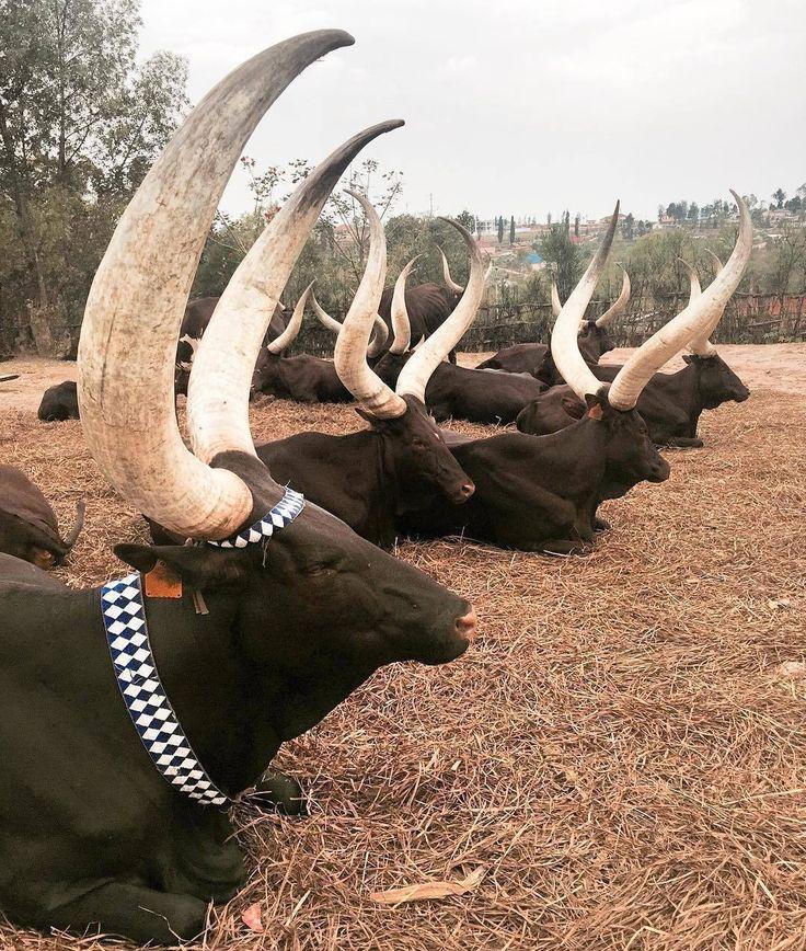 Holy Royal Cows  #inyambo #bighorn #rwanda  Great shot by @annachalan