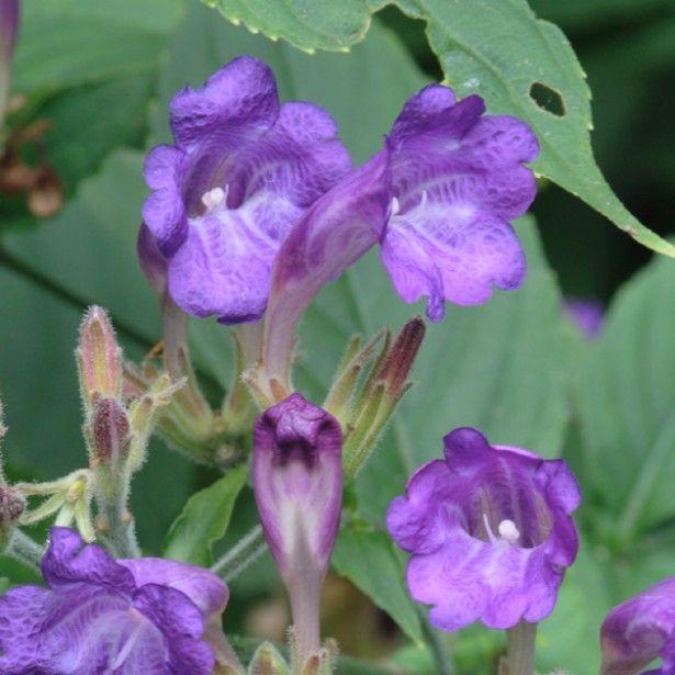 Strobilanthes rankanensis (penstemonoides) - Vivace buissonnante à fleurs bleu lilas