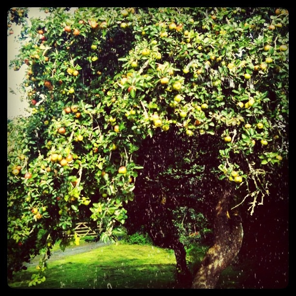 17 Best Images About Apple Trees On Pinterest