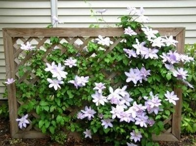 ...and more clematis