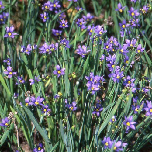 sisyrinchium idahoense bermudienne herbe aux yeux bleus touffes serr es de feuilles. Black Bedroom Furniture Sets. Home Design Ideas