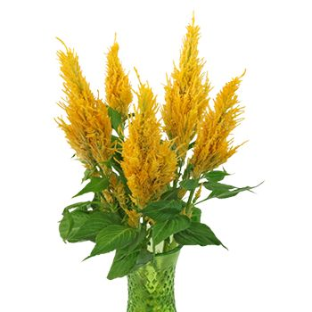 FiftyFlowers.com - Golden Yellow Feather Celosia