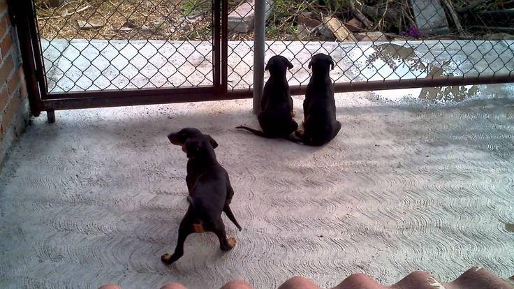Cachorros doberman buscando a sus papas