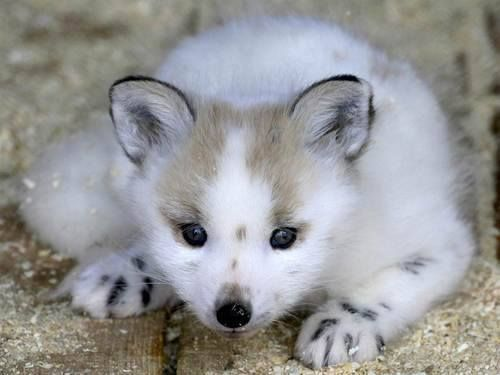 Baby arctic fox in his white winter coat. He'll be brownish grey in summer.