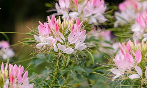 Cleome Hassleriana 'Sparkler Blush', Spider Flower 'Sparkler Blush', Spider Plant 'Sparkler Blush', Pink Queen 'Sparkler Blush', Cleome spinosa 'Sparkler Blush', Cleome 'Sparkler Blush', Tall Annual Flowers, Tall Flowers, Pink annuals, Pink Flowers