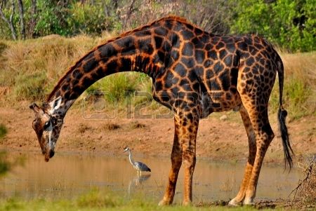 Giraffe drinking water Stock Photo - 18231236