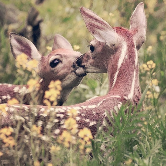 Deer kissNative American Art, Deer Kisses, Beautiful, Sweets Kisses, First Kisses, Amazing Nature, Grumpy Cat, Baby Cat, Animal