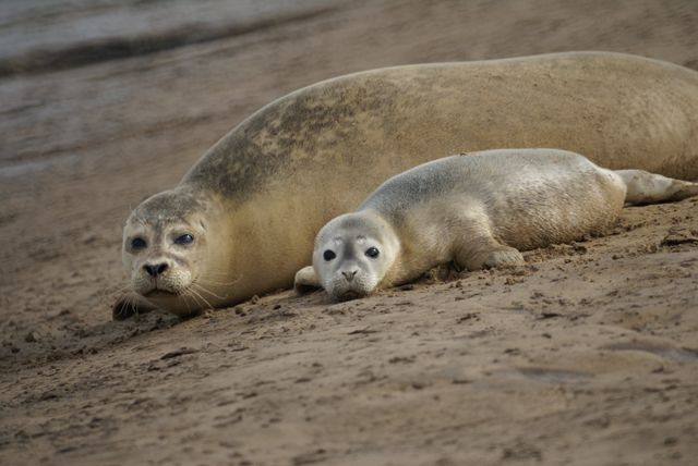 Seals and pup between Titchwell and Brancaster by Geoff Clark, via Geograph