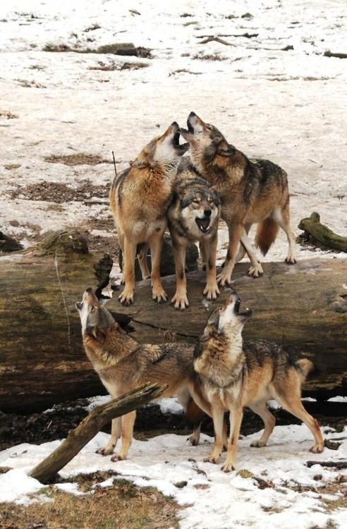 Wolves singing a protest against scheduled wolf hunt in Wisconsin       Source: funnywildlife