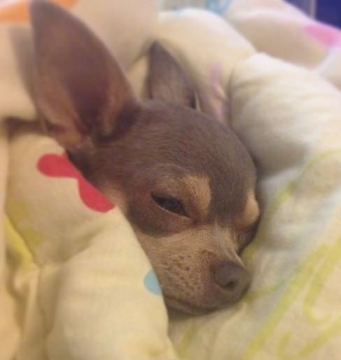 Oooohhhhh!!!!!!!!!!! I want it!!!!!!!!!!!! SO CUTE!!!!!!!!!!!!! What a cute widdle Chihuahua!! :) Love Your Dog? Visit our website NOW! ---- Love Your Chihuahua?? Visit our website now!