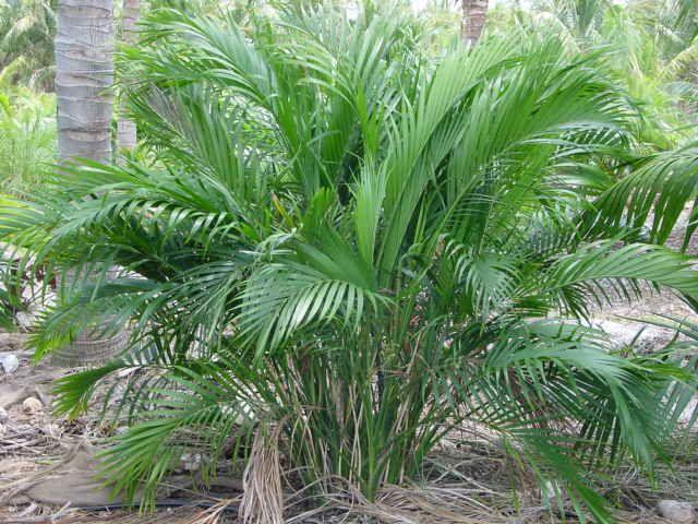 Cat Palm   Chamaedorea Cataractarum, 5 10u0027H, ...