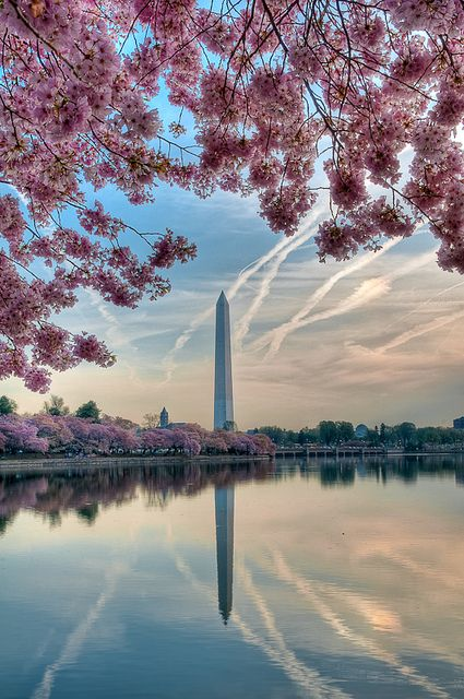 Cherry Blossoms and Monuments by Chuck Robinson, via Flickr | I hope to someday visit DC during the festival.