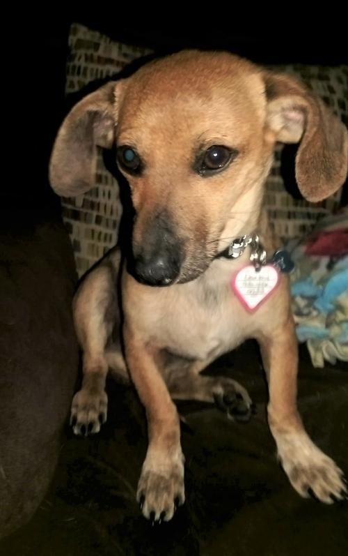 Hi I'm Darby ! I heard all you wanted for Valentine's Day is a #young #dachshund #chihuahua #brother for your #dog to play in the #fenced yard with who is also #sweet and #loving ! Guess what? That's me ! I'll get my toys packed while you get my #adoption papers filled out.
