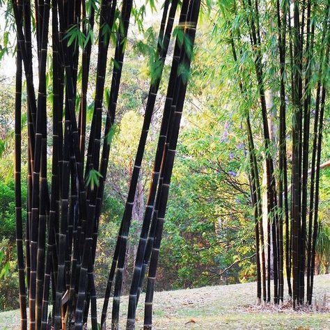 Egrow 100pcs Garden Black Bamboo Seeds Courtyard Phyllostachys Nigra Plants sold out - Banggood Mobile