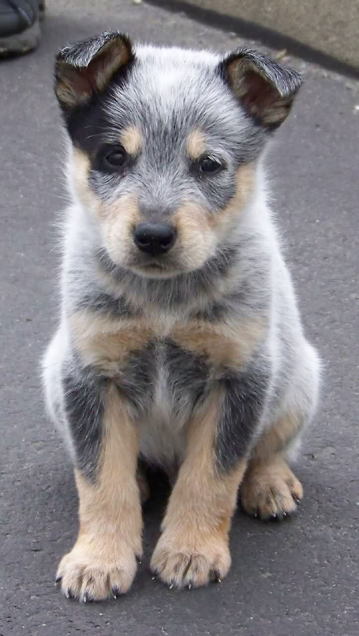 blue heeler puppy. my dad wanted one of these dogs, maybe next time im in town i get one for my family.