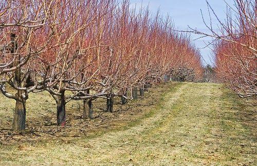 Stropirile la negru   -Toamna , dupa ce cad frunzele , se va face o imbaiere a pomilor cu unul dintre urmatoarele uleiuri horticole :  ...