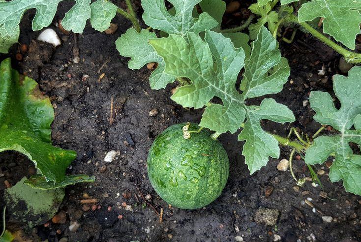 Melone Anbauen Vorziehen Pflanzen Pflegen Und Ernten Gruneliebe Anbauen Baby Clothing Baby Shower Fruit Watermelon Baby Carriage Baby Shower Watermelon