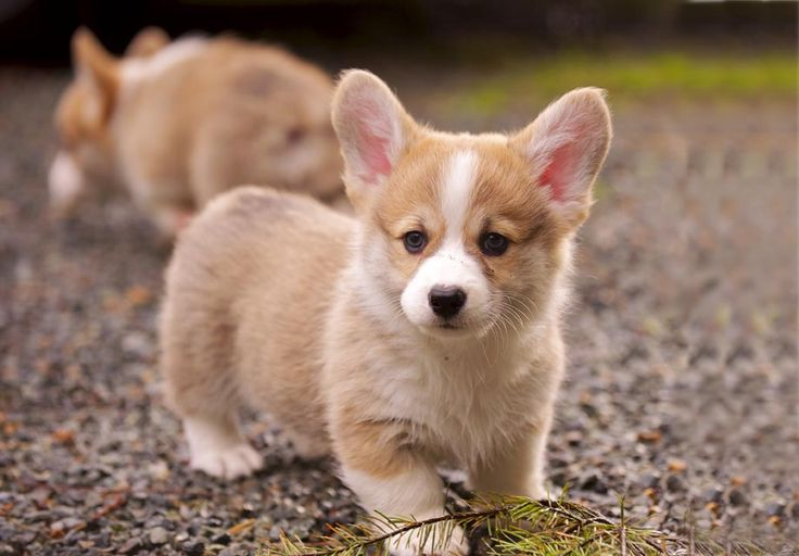 Find Pembroke Welsh Corgi Puppies in your area and helpful tips and info. All purebred Pembroke Welsh Corgi puppies are from AKC registered parents.