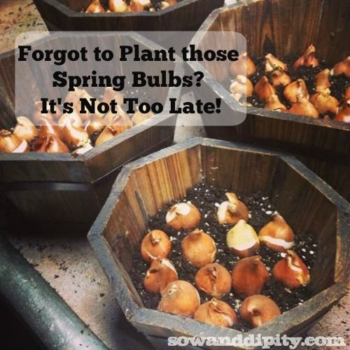 You can plant those spring bulbs in winter but do not delay! Try these methods now! #springbulbs