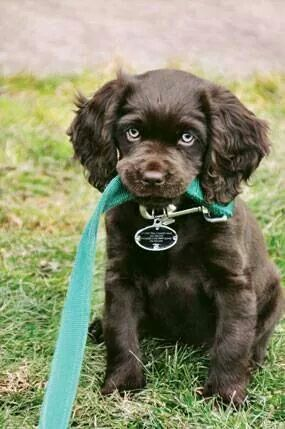 Awe adorable Boykin Spaniel... I so want one...