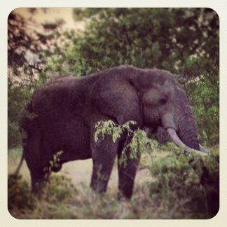Magnificent Bull Elephant