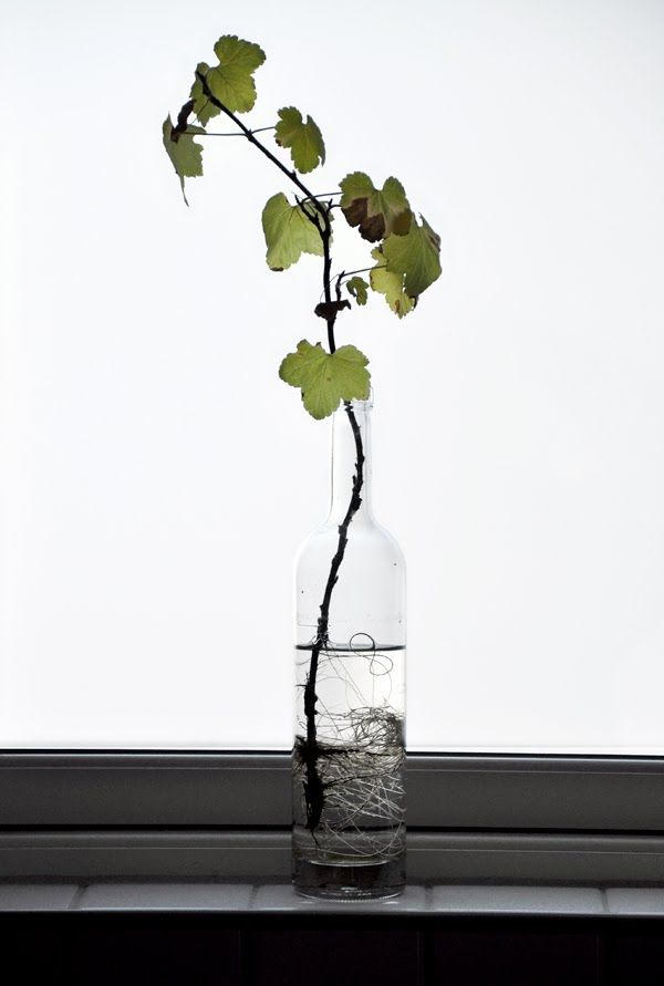 grape vine in wine bottle -- beautiful photo. I wonder how easy this is to do . . .