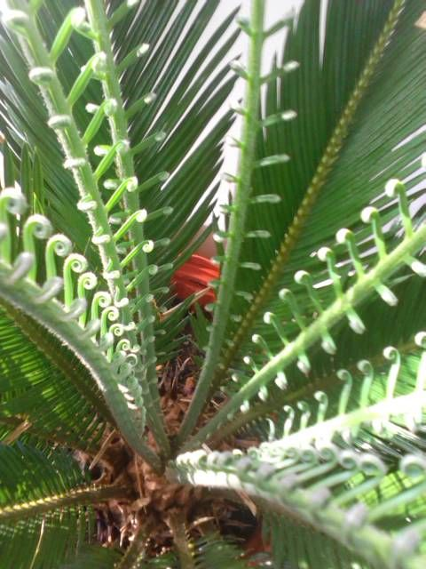 how to add iron and magnesium to potted palms