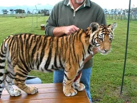 Juka, the tiger cub from Jukani
