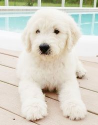 white golden doodle - OMG our next Bentley has to be white!!! HOW STINKIN' CUTE!
