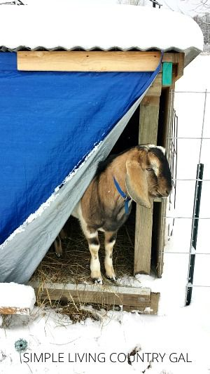How to keep not only your goats but all of your livestock warm in the cold winter. Even if you do not have a barn! #goats #goatswinter #barn