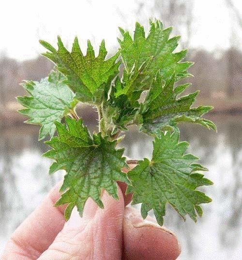 Чтобы слизняки не повреждали клубнику, землянику, салат, огурцы и другие растения, почву под ними рекомендуется мульчировать измельченными листьями крапивы. Она, как свежая, так и сухая, для этих вре…