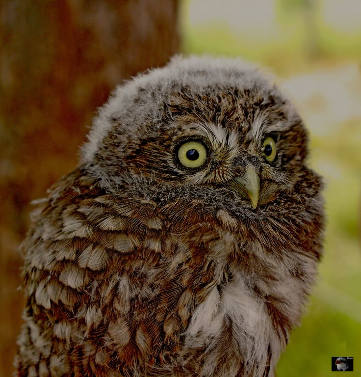 Athene noctua  .  Little owl   Jungvogel bei Beringungsaktion Youngster get`s a Ring ID