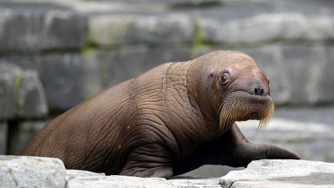 Tierpark Hagenbeck: Süßes Walross-Mädchen im Hamburger Zoo geboren