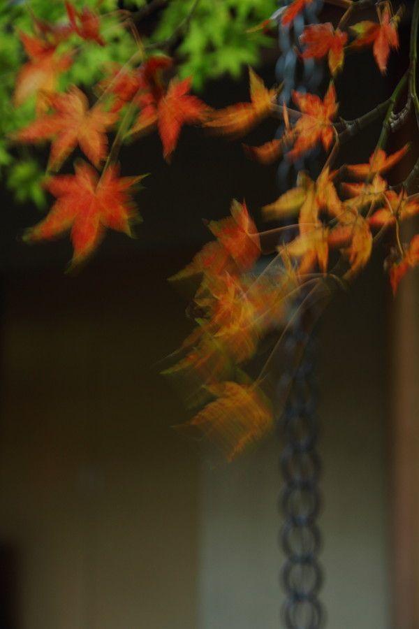 #Photo #写真 「乱れ髪」 by Yasunori Tomori on 500px.与謝野晶子の「おもひみだれおもひみだるる」を微風に揺れるもみじで。