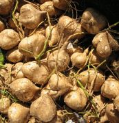 Jicama - If you haven't tried this versatile root vegetable, I suggest you do! It can be prepared sweet or savory, raw or cooked, and is rich in fiber and vitamins.