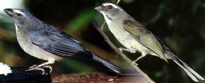 Clube do Criador - Pássaros