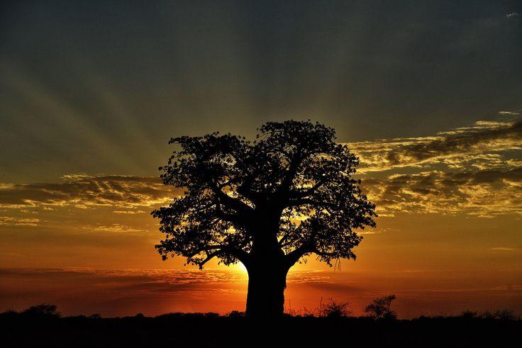 Baobab Trees Kalahari Desert, Botswana
