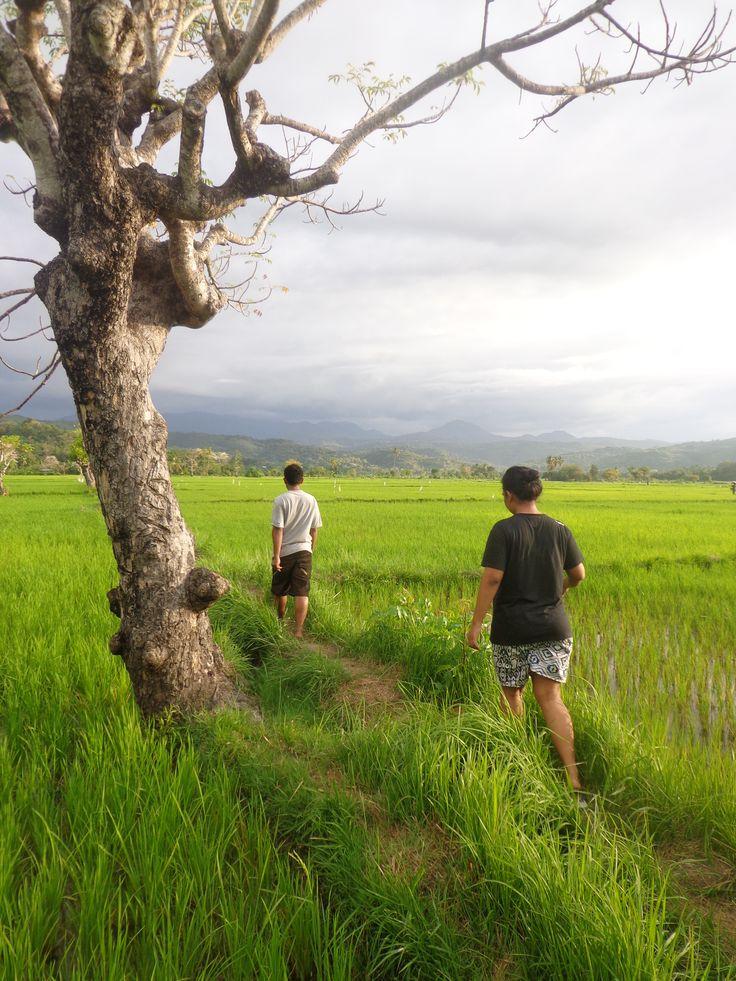 Sawah di Dampek, Manggarai Timur, Flores, NTT, Indonesia