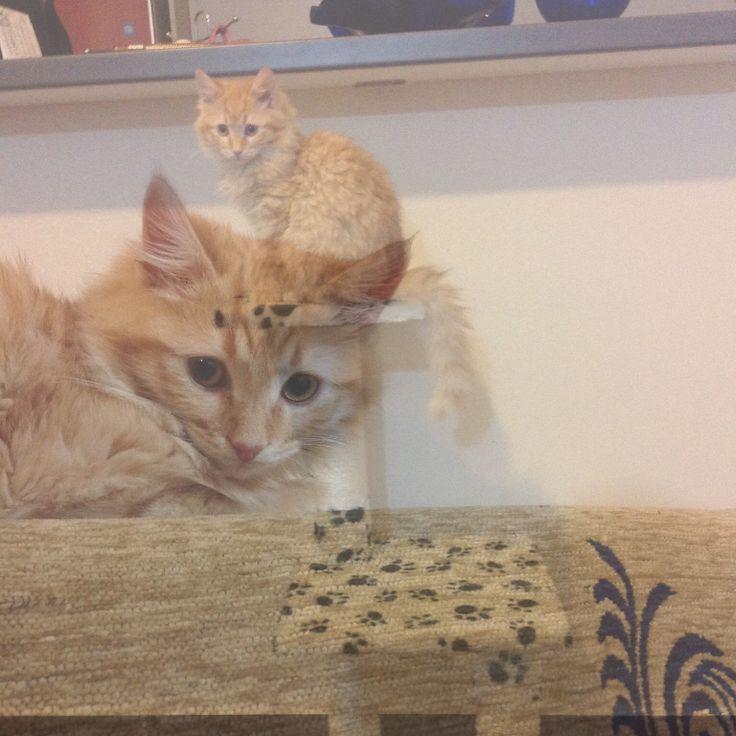 Cat #cat #cats #foxy