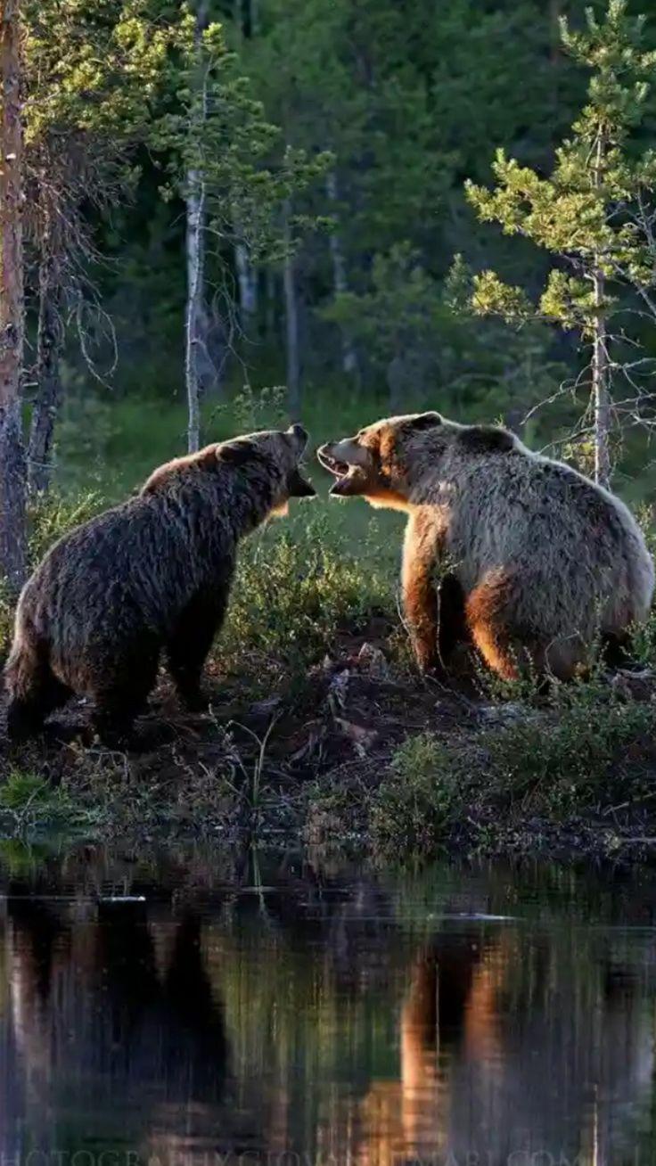 птицы зеленушка, волк медведь фото спустя