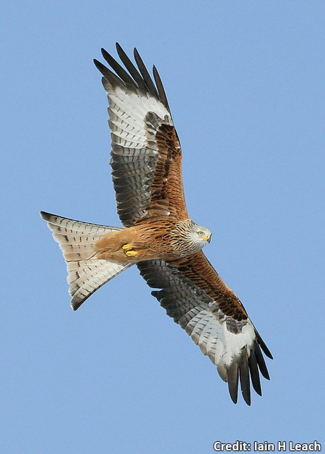 BBC Blogs - Springwatch - Wing Tips: Identifying our birds of prey