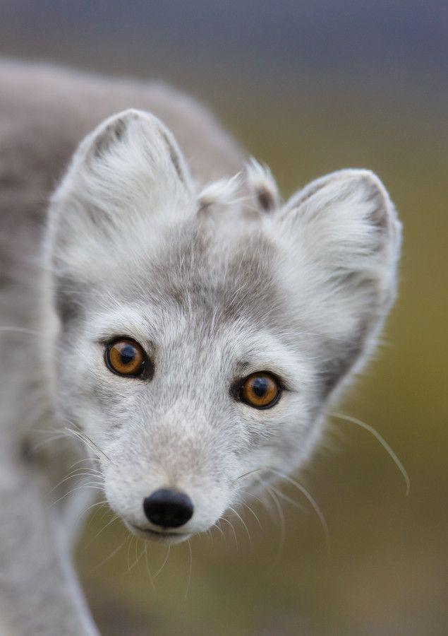 ~~Eye contact ~ Polar Fox by Kim Abel~~