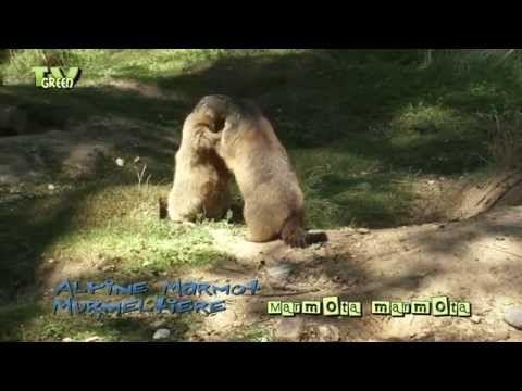 Alpine Marmot - Murmeltiere - Marmota #02 - YouTube