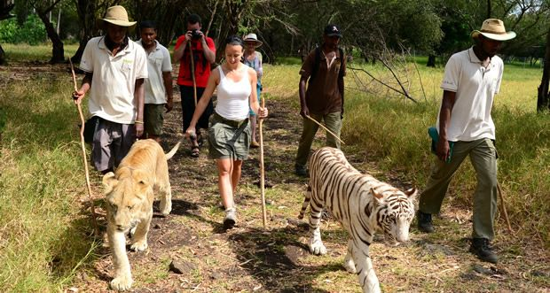 """Safari Adventures Mauritius brings to you the first """"Lion Encounter"""" on the island. This exclusive activity is available all year at the Casela Nature & Leisure Park, Mauritius."""
