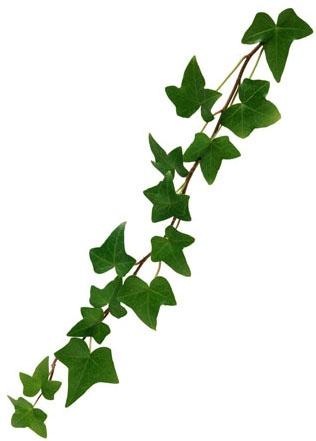 ivy2.jpg (316×441)