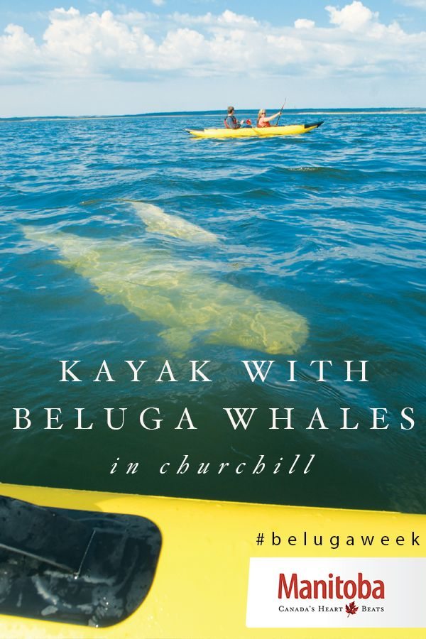 Manitoba's heart sings for the beluga whales of Churchill! Have an unforgettable summer safari as you kayak alongside these incredible animals in the Hudson Bay. Celebrate #belugaweek with us: July 27 to August 2. www.manitobahot.com #exploremb